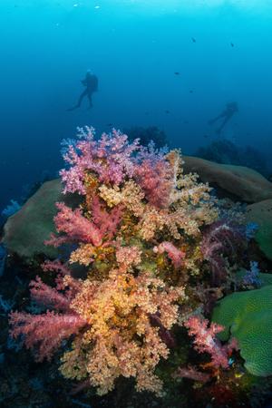 Soft coral colony , Similan island Thailand