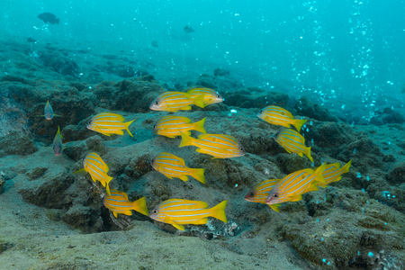 school of five-lined snapper, blue-striped snapper, blue-banded sea perch background has a bubble of active volcanic vents that emit sulphurous gases and lies close to an active subduction zone. Pulau Weh , Banda Aceh , Indonesia