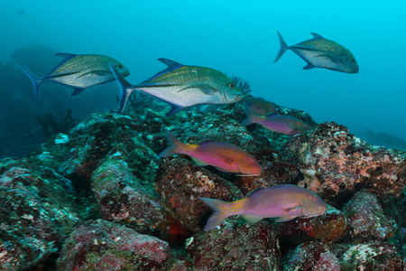 School of Goat Fish with Jack Fish , Pulah Weh , Banda aceh , Indonesia Stock Photo
