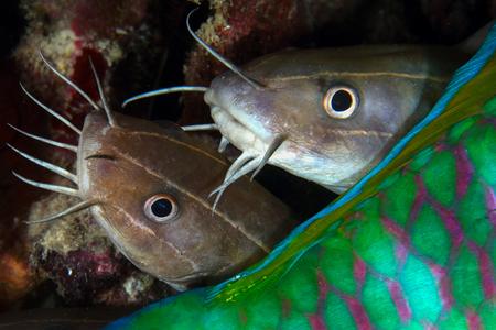 Catfish behind parrot fish, Pulah Weh , Banda aceh , Indonesia
