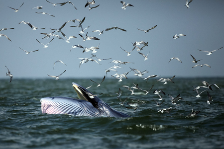 Behaviour , Brydes Whale eat anchovy fishes under the wave and Seagull flying catch the anchovy in the sky , Phetchaburi province , gulf of Thailand Stock Photo