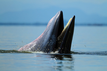 Behaviour , Brydes Whale eat anchovy fishes under the wave  , Phetchaburi province , gulf of Thailand