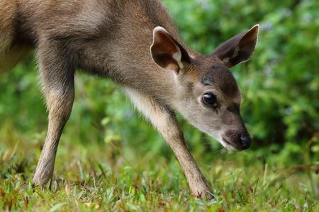 landscape: Portrait Baby Sambar Deer at Green background ,Khaoyai National Park , Thailand