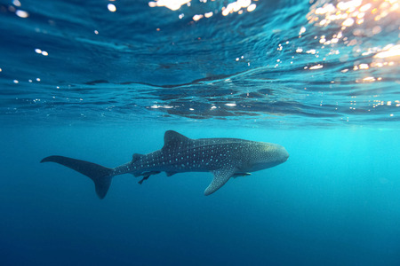 clear waters: Whale Shark (Rhincodon typus) swimming  at  crystal clear blue waters near the surface at Ko Losin  . the Gulf of Thailand . Marine life and underwater scene, sun rays and sunlight. Stock Photo