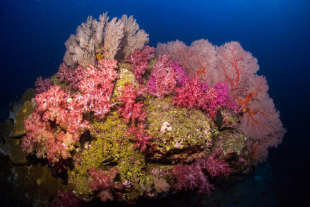 seafan: Soft coral colony and more gorgonians on the rock , Similan Marine National Park Thailand Stock Photo