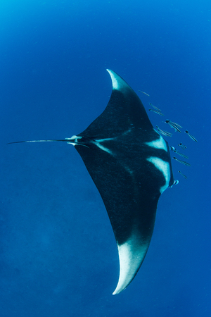 reefscape: Manta ray with school of remola from above on the blue background,Koh Bon , Similan Marine National Park ,Thailand