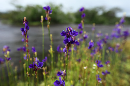 Insectivorous plant (Utricularia delphinioides ) are blooming Nature background, Thailand