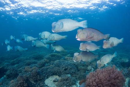 humphead: Bumphead Parrotfish (Bolbometopon muricatum) Swimming pass tropical coralreef at sipadan island , Background surface , Borneo. Malaysia Stock Photo