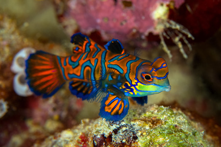 Mandarinfish of Mandarin-dragonet (Synchiropus-splendidus) is close-up geschoten, het zeer kleine tropische vissen levendige kleur, Sipadan-eiland Borneo. Celebes zee, Maleisië Stockfoto