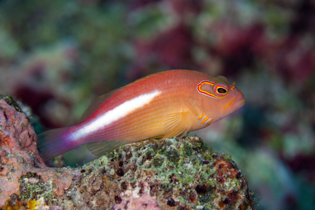 indopacific: Arc-eye hawkfish (Paracirrhites arcatus)  found in shallow waters in the tropical IndoPacific on reefs, resting on coral heads much of the time.Layang Layang,Malaysia