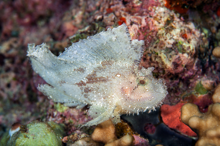 sealive: Face of The leaf scorpionfish or paperfish,(Taenianotus triacanthus) is white color in rock background,Layang layang , Malaysia