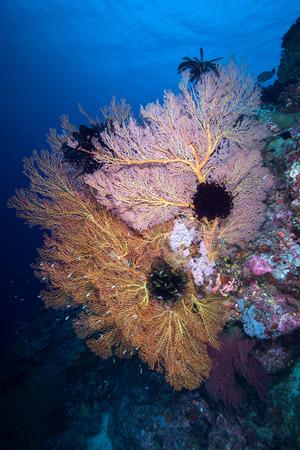 Gorgonian colony and on the rock , Similan Island , Andaman sea Thailand