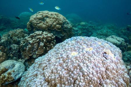 De witte kleur van harde koralen is koraalbleken. Globaal ontwormen is effect op dode koralen, Andamanzee, Thailand Stockfoto