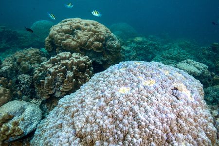 White color of hard corals is coral bleaching. Global worming is effect to coral dead , Andaman sea , Thailand Stock Photo