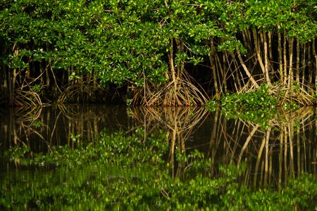 マングローブ林の反射 写真素材