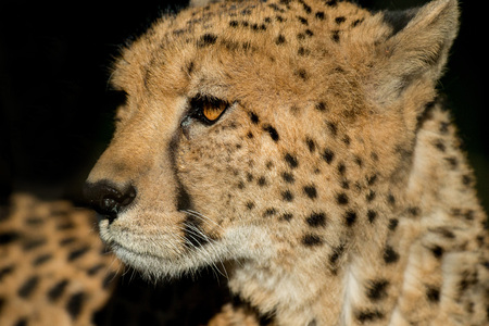 Cheetah rustte, maar de ogen lijken nog steeds slachtoffer. zwarte traanachtige strepen op het gezicht, bedreigd op de rode lijst van IUCN, vintage kleurstijl, Zuid-Afrika
