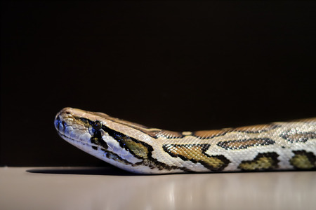 Burmese python,Python bivittatus,IUCN Red List Data Vulnerable , with copy space at black background , focus only eye