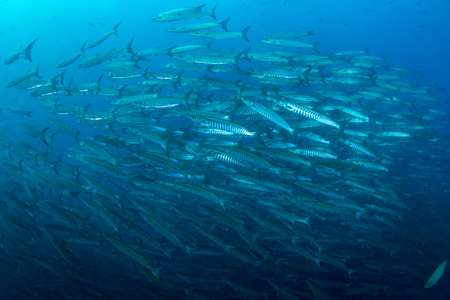 Fish in ocean . School of fishes baracudas at open sea with blue background.