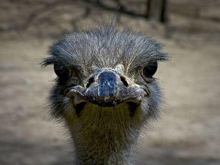 gaze:   Gaze of the ostrich Stockfoto