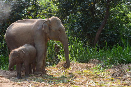 angry elephant: baby elephant with its mom with natural background Stock Photo