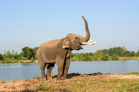 elephant angry: elephant with long ivory raise its trunk while eating Stock Photo