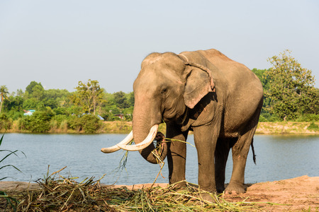 elephant angry: big elephant with long ivory is eating