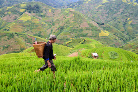 farm field: old farmer works and carries baskets on his shoulder in the field of rice on rice terraces