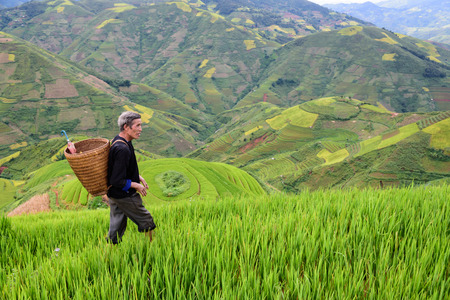 rice fields: old farmer works and carries baskets on his shoulder in the field of rice on rice terraces