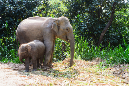 elephant angry: baby elephant and mother