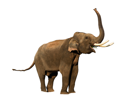 elephant isolated on white with clipping