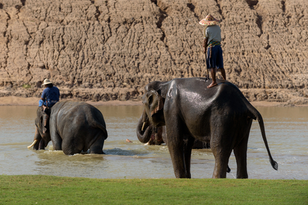 big elephant are bathing in the river with mahout