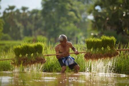 old farmer while trying carry his rice sapling Stok Fotoğraf