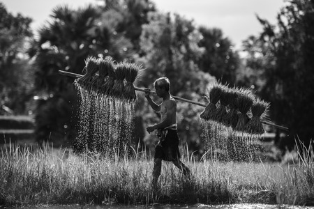 old farmer while trying carry his rice sapling, old farmer work hard in rice field thailand, old farmer work in farm land Stok Fotoğraf
