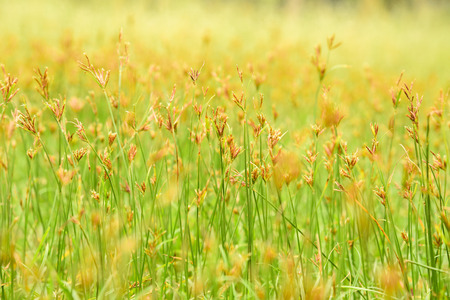 spring background with grass and little yellow flower