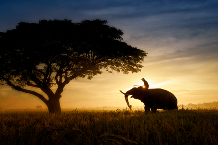 silhouette elephants standing under the tree at sun rise with man on it's back