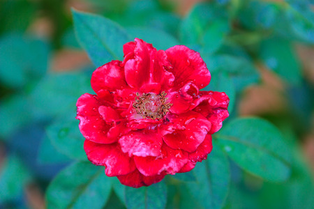 natural red rose with leaf