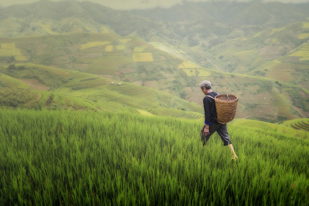 old farmer works and carries baskets on his shoulder in the field of rice on rice terraces Stok Fotoğraf - 123892522