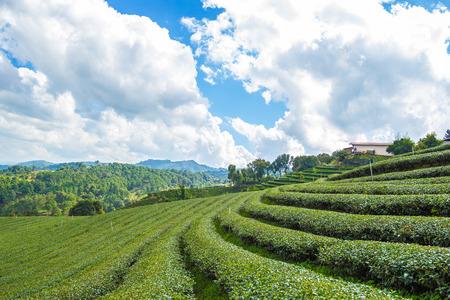 chiangrai: This photo are Tea plantation in province Chiangrai North of Thailand.