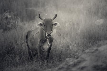 buey: Prairie y el buey