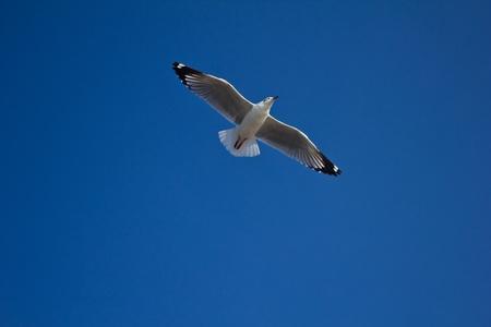 wingspread: wingspread seagull in clear blue sky,Bangpoo, Thailand