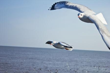 wingspread: wingspread seagull in clear  sky,Bangpoo, Thailand