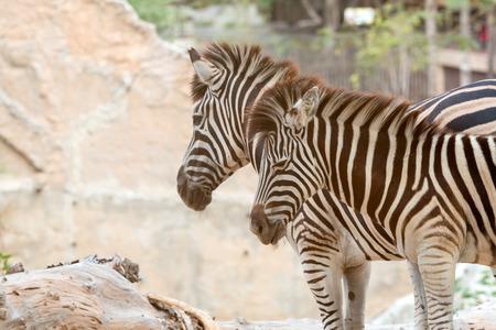 Close up of couple zebra standing together; Burchells Zebra head shot