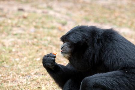 Close up of Siamnang Gibbon eatting food
