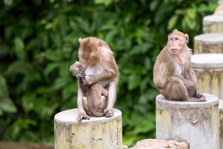 Three monkey with mom feeding milk to thier child and sitting on the concrete pole Stock Photo