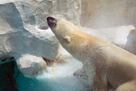 Portrait of Polar bear splash the water from its feather after diving underwater; high speed shutter to stop motion