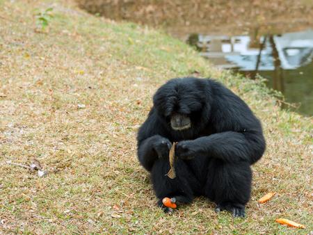 Portrait of Siamnang Gibbon eatting food