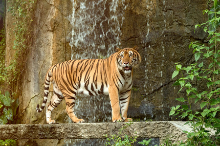 Indochinese Tiger standing in front of waterfall; Panthera tigris corbetti coat is yellow to light orange with stripes ranging from dark brown to black