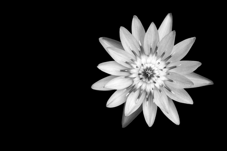Abstract background blossom lotus by black and white tone on black background with clipping path Фото со стока