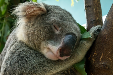 Close up of Koala  head shot which  sleeping on tree brach