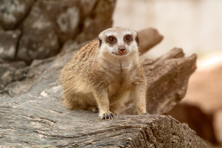 One meerkat standing on timber and looking at camera